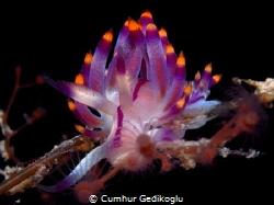 Flabellina rubrolineata by Cumhur Gedikoglu