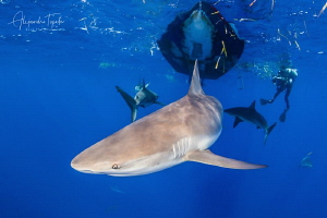 Reef Sharks and Photographer, Gardens of the Queen Cuba  by Alejandro Topete