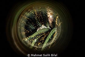 Crinoid crab. by Mehmet Salih Bilal