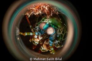 Mantis shrimp. by Mehmet Salih Bilal