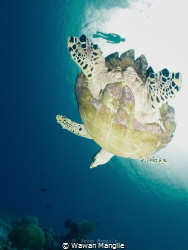 Snorkling with Sea Turtle by Wawan Mangile