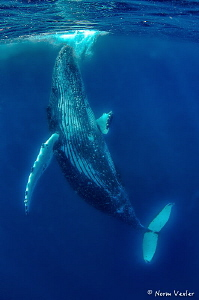 Beautiful Humpback performing close-up for me in Tonga. by Norm Vexler