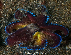 Octo  Fan!!! by George Touliatos