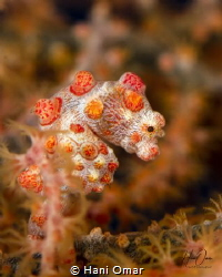 There is something very cute about Pygmy seahorses. This ... by Hani Omar