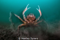 Spider Crab Attack by Henley Spiers