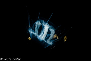 Freshwater jelly fish by Beate Seiler