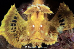 The Weedy Scorpionfish, of the Rhinopias - one of the tru... by Daniel Lamborn