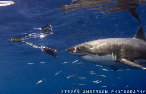 Teasing with fish is the normal practice to lure these bi... by Steven Anderson