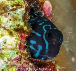 Curious Blenny!!! by George Touliatos