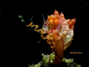 Lovely Flabellina laying eggs by Marylin Batt