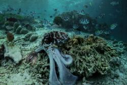 Octopus by Wawan Mangile