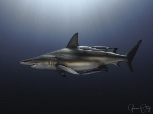 Oceanic Blacktip shark cruising on Aliwal Shoal by Gemma Dry