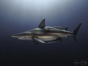 Oceanic Blacktip shark cruising on Aliwal Shoal by Gemma Dry