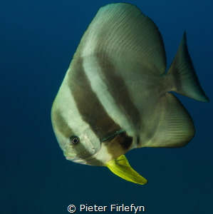 Batfish by Pieter Firlefyn