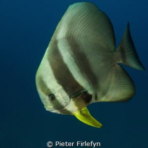 Batfish by Pieter Firlefyn