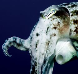 Cuttlefish, Indonesia, 2005. Nikkor 60mm. (sorry, not ma... by Chris Wildblood