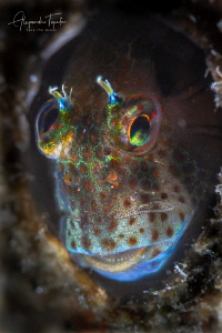 Crazy eyes Blenny, La Paz México by Alejandro Topete