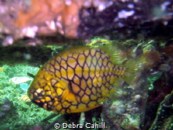 Pineapple Fish Clifton Gardens Mosman NSW by Debra Cahill