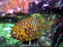 Pineapple Fish Clifton Gardens Mosman NSW by Debra Cahill
