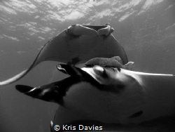 Two pacific giant Manta Rays came in for an extreme close... by Kris Davies
