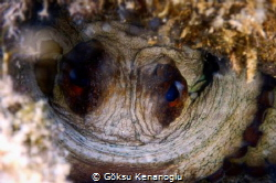 An octopus watching me through its nest by Göksu Kenanoğlu