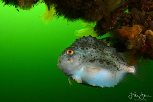 Juvenile lumpsucker(Cyclopterus lumpus), Zeeland, The Net... by Filip Staes