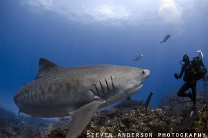 Emma the World Famous Tiger Shark appears over one of the... by Steven Anderson
