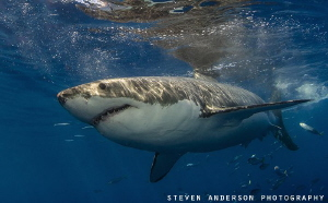 Great White Shark makes its pass by us. These sharks exhi... by Steven Anderson