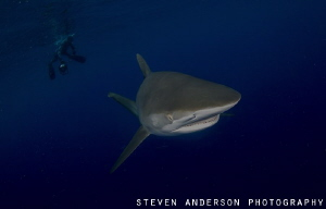 Silky Shark encounter off Jupiter Fl during a drift dive ... by Steven Anderson
