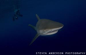 Silky Shark encounter off Jupiter Fl during a drift dive ... by Steven Anderson