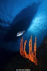 Sponge axinella and boat- Big Reef-Bodrum / Turkey by Mehmet Öztabak