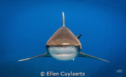 Stealth! Oceanic white tip, Cat Island by Ellen Cuylaerts