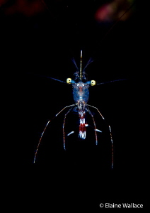 Pleased to meet you !  A cleaner shrimp (pederson?) on a ... by Elaine Wallace