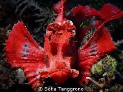Grumpy Rhinopias eschmeyeri by Sofia Tenggrono
