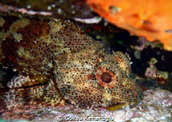 A scorpion fish chilling inside a rock with its eyes wide... by Göksu Kenanoğlu
