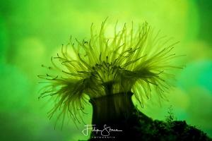 Small snakelocks anemone (Sagartiogeton undatus), Zeeland... by Filip Staes