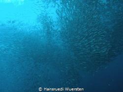 The Sardine by Hansruedi Wuersten