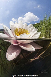 waterlilly split shot - freshwater Germany by Claudia Weber-Gebert