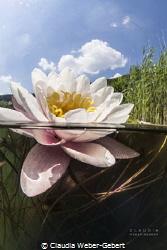 waterlilly split shot - freshwater Germany by Claudia Weber-Gebert