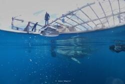 Feeding Time, Whale Shark by Wawan Mangile
