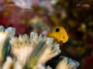 """looking at me looking at you"" - small damsel fish juvenile by Patricia Sinclair"