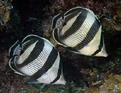 Banded Butterflyfish. Nikon D70 with 60mm lens. by Jim Chambers
