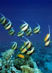 Bannerfish taken in the deep south of the red sea by David Thompson