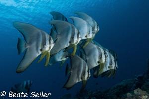 Batfish at the house reef of Pintuyan Dive Resort by Beate Seiler