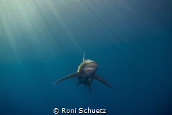 longimanus, brothers island in egypr by Roni Schuetz