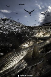 The incredible journey of pearl mullet fishes living in t... by Mehmet Öztabak