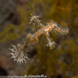 Ornamental Ghost Pipefish at night near Komodo Island, So... by Alex Wolff