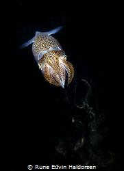 Common european squid by Rune Edvin Haldorsen