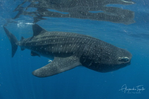 Whale Shark in the surface, Isla Contoy México by Alejandro Topete