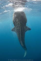 Tiburón ballena en botella  Whale shark in bottle position by Pepe Suarez